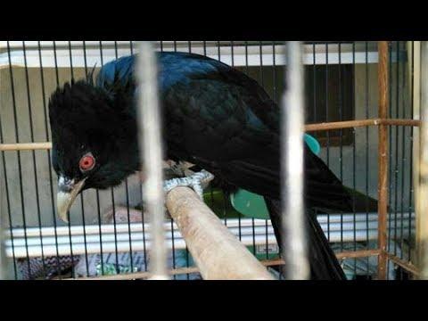 Burung Tuwu Gacor Si Parasit Bersuara Keras