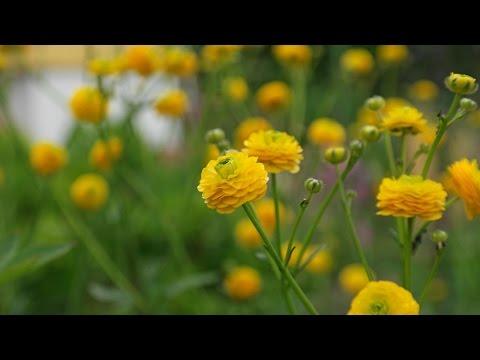 """Ranunculus acris """"Multiplex"""" / Scharfer Hahnenfuß / Meadow Buttercup"""
