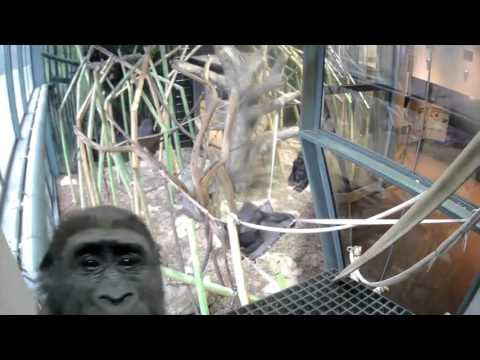 Gorilla Girls Interact with Video Camera