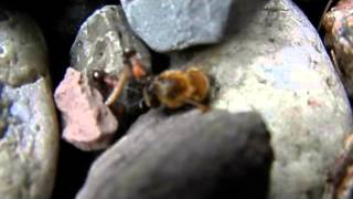 "Wasp Killed by Red Ants. ""raw footage"""