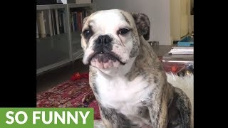 Very vocal bulldog complains to her owner