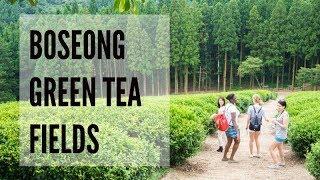 Boseong Green Tea Fields - Korea
