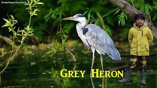 Animal Science for Kids | Grey Heron | Birds
