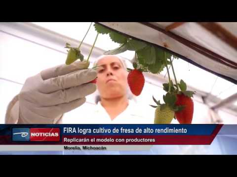 Morelia, Mich.- FIRA logra cultivo de fresa de alto rendimiento