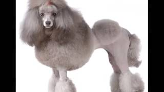 Dog Breed Miniature Poodle Picture Collection Ideas | Miniature Poodle Dogs