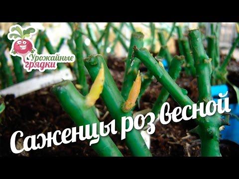 Саженцы роз весной: как выбирать и как их сажать? Урожайные грядки.
