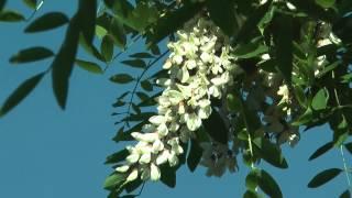 Akazienblüten und Gesang einer Grasmücke
