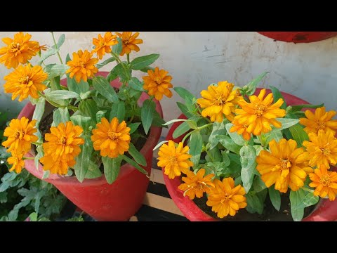 Care of Zinnia Plant || How to Grow and Care Zinnia Plant ... Zinnia House Plant on aster plants, pentas plants, dahlia plants, verbena plants, rose plants, lantana plants, hibiscus plants, tulip plants, calendula plants, geranium plants, honeysuckle plants, salvia plants, nasturtium plants, yucca plants, garden plants, sweet pea plants, cosmos plants, peruvian lily plants, dill plants, begonia plants,