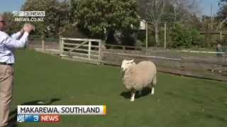 Fred the Football-Playing Sheep From New Zealand