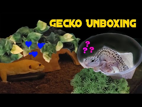 Surprising Lonely Leopard Gecko With A Beautiful Mate (Mack Snow Unboxing)