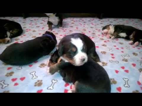 14 day old Bernese Mt Dog puppies