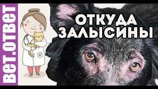 Почему появляются залысины вокруг глаз и на спине собаке? ВетОтвет.