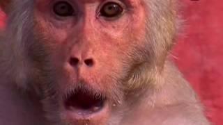 Мир животных Индии 1Макаки