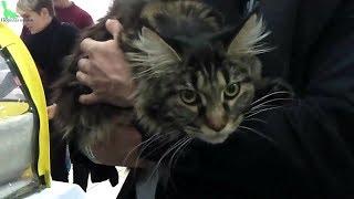 Мейн Кун - Американская Гордость, Коты ГИГАНТЫ | ПОРОДЫ КОШЕК