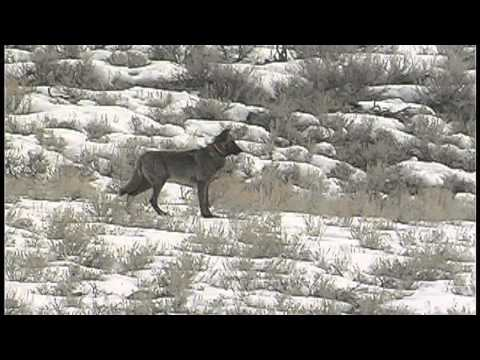 Eye Of The Hunter™ - Rocky Mountain Elk vs. North Yellowstone Wolf