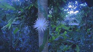 Il timelapse di un raro cactus dell'Amazzonia che fiorisce e muore nell'arco di una notte