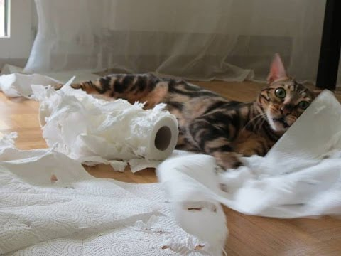 Bengal Kitten Playing With Toilet Paper Cat And Toilet