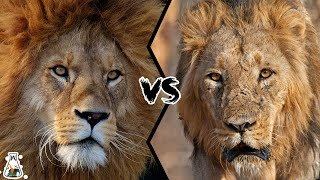 AFRICAN LION VS ASIATIC LION - Which is The Strongest?