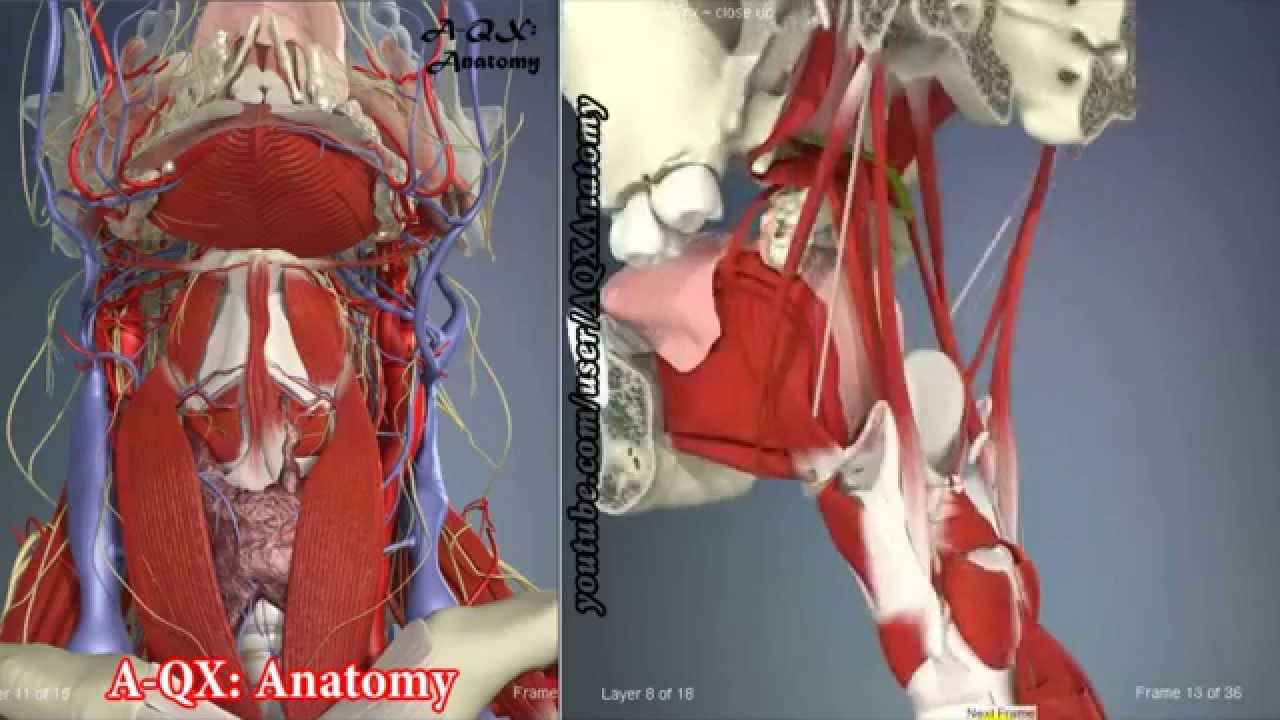 Palate muscles | 3D Human Anatomy | Organs - YouTube