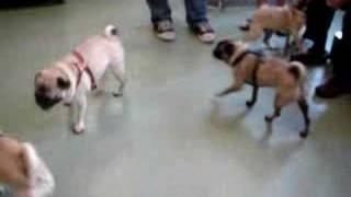 Pug Meetup #3