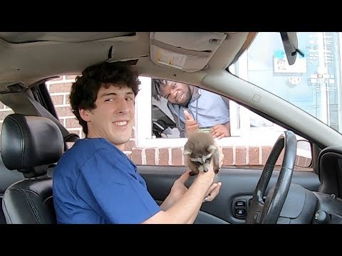 Taking my baby raccoon through the drive-thru