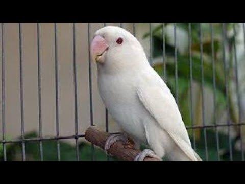 Suara Burung Parkit Gacor Masteran Cocok Buat Pancingan Biar