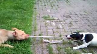 Pitbull VS Jack Russel Lol