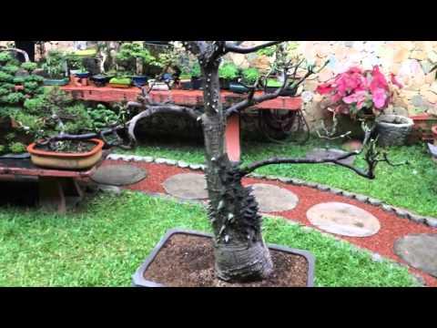 Ceiba Pentandra #2