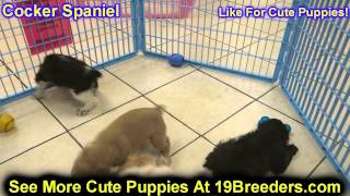 Cocker Spaniel, Puppies, For, Sale, In, Cincinnati, Ohio, Oh, Westerville, Huber Heights, Lima, Lanc