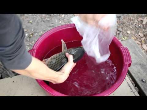разводим карпа на своем пруду видео
