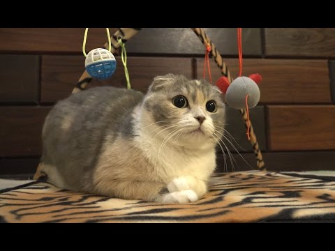走って甘えにくる猫のミュー