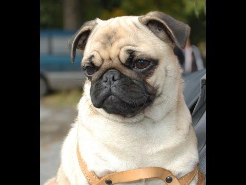 Продаю алиментных щенков мопса с документами ркф из разных пометов. Алиментный щенок это лучший щенок!. Отец юный чемпион россии,