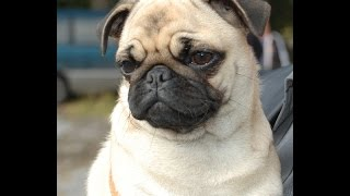 Мопсы классные собаки (TOP Funniest Pug Videos)