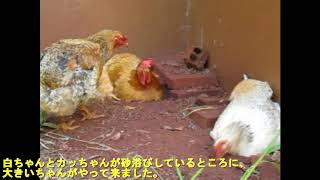 群れに属する鶏さんには、雌雄それぞれに序列があります。 順位は喧嘩な...