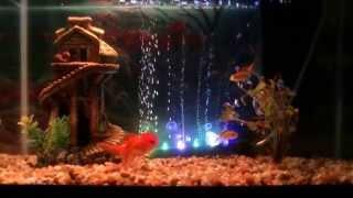 My 10 Gallon Goldfish Aquarium With Oranda And Fantail