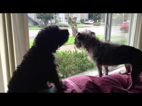 Schnoodle Barking