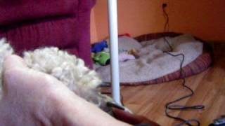 Clipping Poodle Feet
