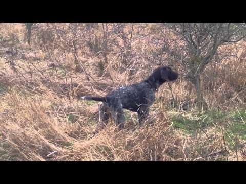 German Wirehaired Pointer stalking....