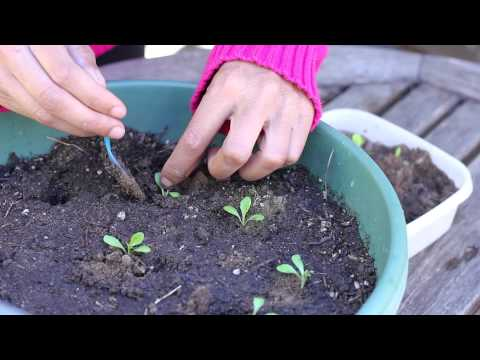 How to Transplant Sprouting Seedlings : Planting the Seed