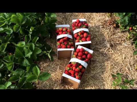 34.Canada,Winnipeg.Поїздка на ферму по полуницю- Boonstra Farm.04.07.2016.