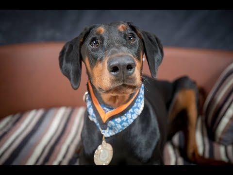 Coco - Doberman Puppy - 3 Weeks Residential Dog Training