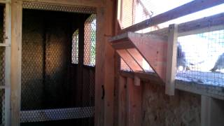 Young Birds Trapping - Ashby Loft - Racing Pigeons
