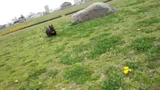 愛犬のスコティッシュ・テリアのNEROを河川敷で走らせました。