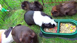 5 Guinea Pigs Eating Food So Funny