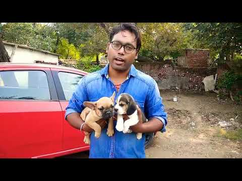 French Bulldog Vs Beagle..Best Toy Breed in India.. Doggyz World