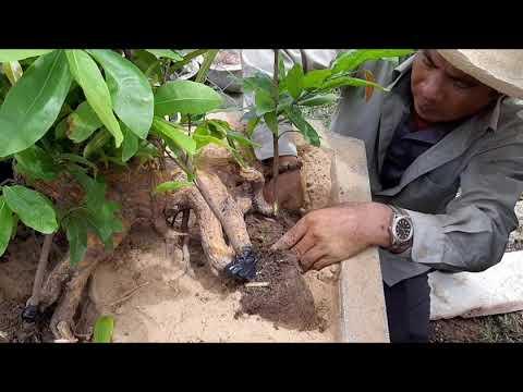 Kỹ thuật ghép bạ rễ cho phôi mai bonsai khủng