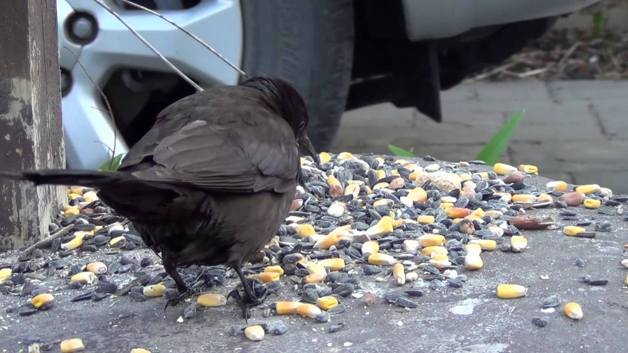 Raven vs crow vs grackle - photo#43