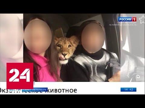Зоозащитники выкупили по окончании карьеры фотомодели львицу Киару - Россия 24