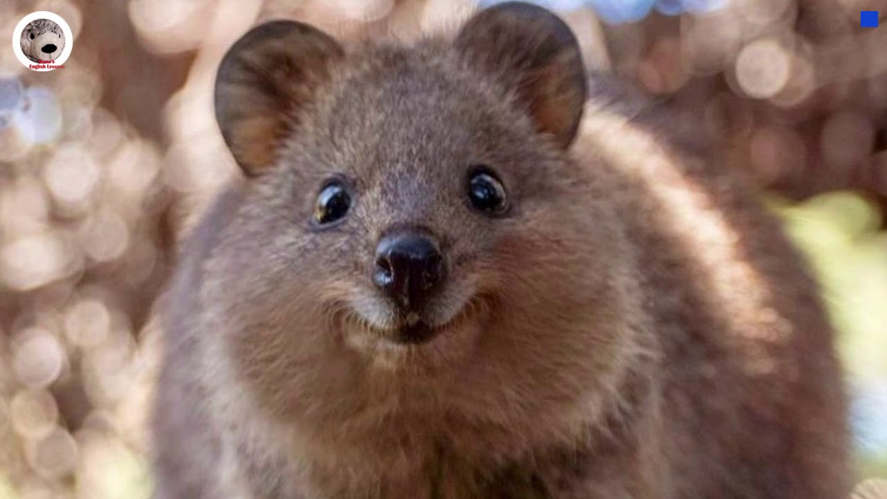 Quokka Simple Wikipedia Animal Facts English Lesson for ...