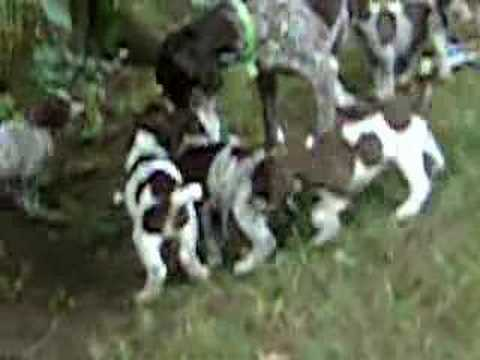 German Shorthaired Pointer Puppies at play at 6 weeks